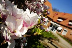 Magnoliaträd vid kommunhuset. Foto: MiP Media.